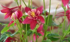 Wednesday's Flowery Jigsaw Puzzle – Origami Red and White Columbine