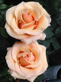 Two peach colored roses