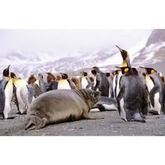 Southern Elephant Seal weaned pup in colony of King Penguins Canvas Art - Martin Zwick DanitaDelimont (37 x 24)