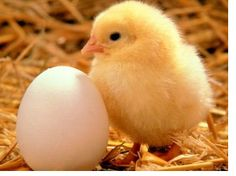 WHICH CAME FIRST, THE CHICKEN OR THE EGG? - News - Bubblews