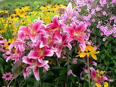 Stargazer lilies always make me feel better. Organic Soil, Organic Gardening, Growing Lillies, Different Types Of Lilies, Flower Bed Designs, House Landscape, Fall Flowers, Flower Beds, Stargazing