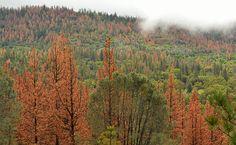66 Million Dead Trees In California Increases Wildfire Risk
