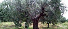 Oliveto tenuta zimarino