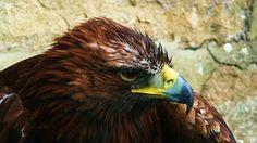 Eagle, Bird, Animal, Bird Of Prey