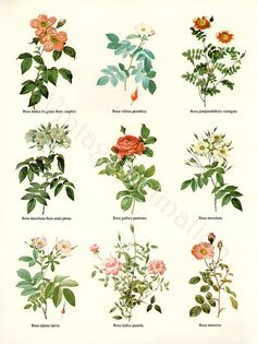 Vintage BOTANICAL Chart Print REDOUTE ROSES by VintageInclination, $9.88