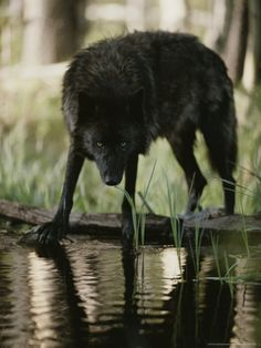 Gray Wolf, Canis Lupus, Stops at a Woodland Stream For a Drink Photographic Print by Jim And Jamie Dutcher at Art.com