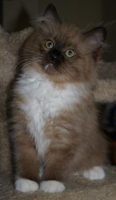 My future kitty! She's a Ragamuffin! :)