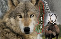 Nine wolves removed from South Selkirks   Columbia Valley, Cranbrook, East Kootenay, Kimberley