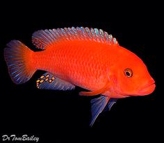 Aquarium Fish, Tropical Fish, and Goldfish for Sale Online Tropical Freshwater Fish, Freshwater Aquarium Fish, Tropical Fish, Cichlid Aquarium, Cichlid Fish, Discus, Malawi Cichlids, African Cichlids, Valle Del Rift