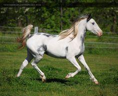 White Gray Overo Paint #1 - photo by venomxbaby, via deviantART   (right side)