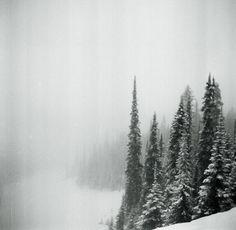 Fog & Pine Trees