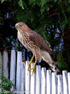 Cooper's Hawk, juvenile (Birds of Prey, Hawks)
