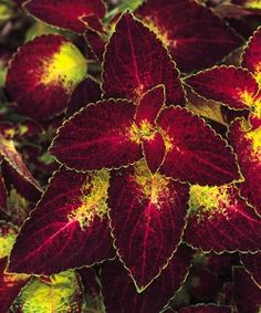 This beauty is another variety of coleus sun tolerant Sun garden riesling
