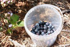 Blueberry picking at Cherry Top Farm Stay in the Tamar Valley, Tasmania #australia
