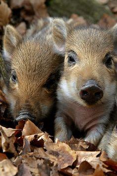 Nature Animals, Animals And Pets, Animals Beautiful, Beautiful Birds, Cute Piglets, Cute Baby Animals, Animal Babies, Animal Antics, Wild Boar