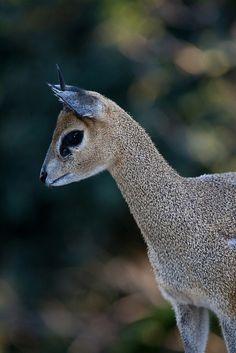 Klipspringer by Official San Diego Zoo, via Flickr.com