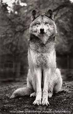 "A Wolf: ""Proudly Sitting."""