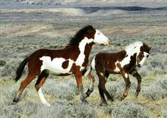 These two look like they could be descendants of Picasso of Sand Wash Basin Most Beautiful Animals, Beautiful Horses, Baby Sea Turtles, Majestic Horse, Wild Mustangs, All The Pretty Horses, Horse Pictures, Art Pictures, Horse Breeds