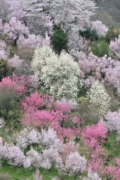 spring trees spring landscape pink flowering trees cherry trees japan