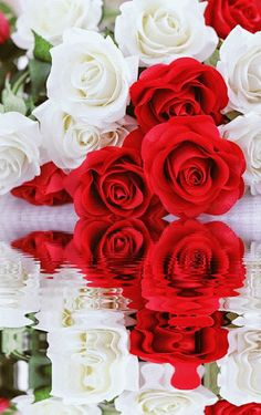 Red and White Roses Reflection … Beautiful Flowers Wallpapers, Beautiful Gif, Beautiful Roses, Flowers Gif, Flowers Nature, Roses Gif, Red And White Roses, Pink Roses, Wedding Bouquets