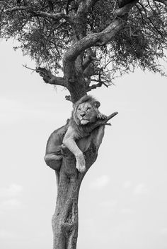 Lion in tree - black and White photo - wild animals