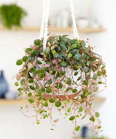 Hangplant 'Pepperspot'