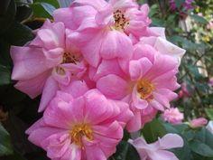 Climbing Pinkie – Polyantha Rose | The Redneck Rosarian