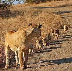 Lioness patiently waiting for her baby cubs to catch up 😍😍 Nature is truly amazing! Big Cats, Cats And Kittens, Cute Cats, Nature Animals, Animals And Pets, Wild Animals, Beautiful Cats, Animals Beautiful, Tierischer Humor
