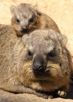 Hitching a ride on mom! These tiny, furry creatures share a common ancestry with elephants! Learn more about rock hyrax. (photo: Mary-Ellen Jordan)