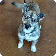 Santa Rosa, CA - Corgi/Norwegian Elkhound Mix. Meet Greta, a dog for adoption. http://www.adoptapet.com/pet/17446066-santa-rosa-california-corgi-mix