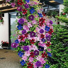 TOPmountain Graines de fleurs de clématites 100 pcs Graines de plantes grimpantes Belles fournitures de jardin de couleur mélangée Facile à cultiver