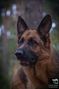 Love German Shepherds..