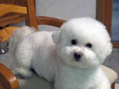 Bichon Frise dogs...My lacey isn't this fluffy (due to skin allergies) but this is what she could look like.