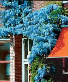 Blue wisteria.