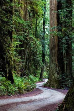 Redwood Hiking, Photography and Lodging. Largest and Tallest and Largest Trees, Sequoia sempervirens. Forest Path, Redwood Forest, Sequoia Sempervirens, Giant Sequoia Trees, California National Parks, Old Trees, Fantasy World, Hiking Trails, Paths