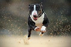 Tom Lowe. I want a bull terrier!
