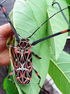 Giant Harlequin Beetle - Brazil.  This large tropical long-horned beetle has a distinct red, black and orange markings on its wing covers. The harlequin beetle is also distinguished by its extremely long forelimbs, which often extend longer than the entire body of the insect.