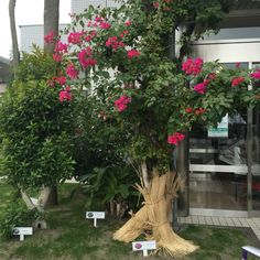 [Miyazaki 2015] 미야자키 공항의 이름은 부겐비리아. 이 꽃이 부겐비리아다. 한겨울에도 꽃이 피는 곳. 추운 것 같기도, 따뜻한 것 같기도 했던 미야자키, 굿바이.