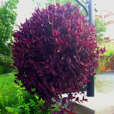 Purple wandering jew at Dollywood... So full and pretty!