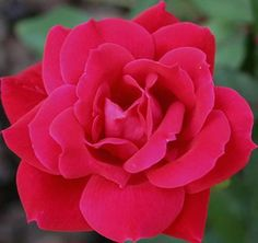 knockout rosen The Double Knockout Rose is covered with beautiful fully-double flowers in a stunning fire-engine red color. It comes into bloom around the end of May and will still be b Knockout Roses Care, Double Knockout Roses, Rose Online, Growing Roses, Planting Roses, Beautiful Flowers Garden, Rose Bush, Front Yard Landscaping