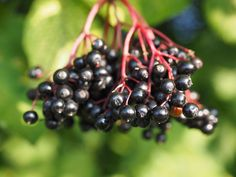 How to Make Homemade Elderberry Syrup - Rebooted Mom Raw Juice Cleanse, Juice Cleanse Recipes, Cold Remedies, Natural Remedies, Homeopathic Remedies, Elderberry Juice, Allergies, Herbalism, Berries