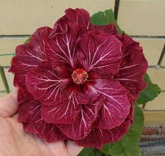 Rare Dark Pink White Hibiscus Seeds Giant Dinner Plate Fresh Flower Garden Exotic Hardy Flowering Perennial 513 by ToadstoolSeeds on Etsy