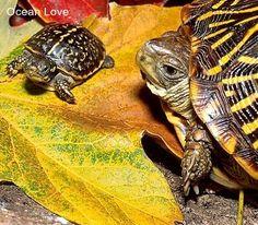 Suuuuch a cutie! #turtle #turtles #cute #oceanlove