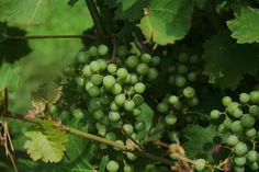 Grapes at Laurita winery
