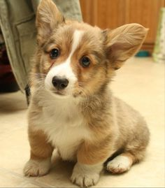 corgi pup, so cute
