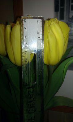 Tulip Size Closeup