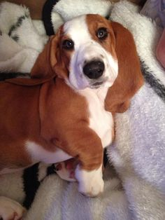She looks like my Holly! Basset Puppies, Basset Hound Puppy, Beagle Mix, Beagles, Dogs And Puppies, I Love Dogs, Cute Dogs, Hounds Of Love, Bassett Hound