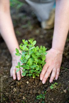 Woman planting mint plant by Pixel Stories