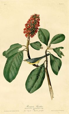 Southern Magnolia and Bonaparte's Flycatcher.