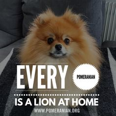 Marvelous Pomeranian Does Your Dog Measure Up and Does It Matter Characteristics. All About Pomeranian Does Your Dog Measure Up and Does It Matter Characteristics. Pomeranian Spitz, Pomeranian Facts, Teacup Pomeranian, Pomeranians, Save A Dog, Getting A Puppy, Companion Dog, Lap Dogs, Small Dog Breeds